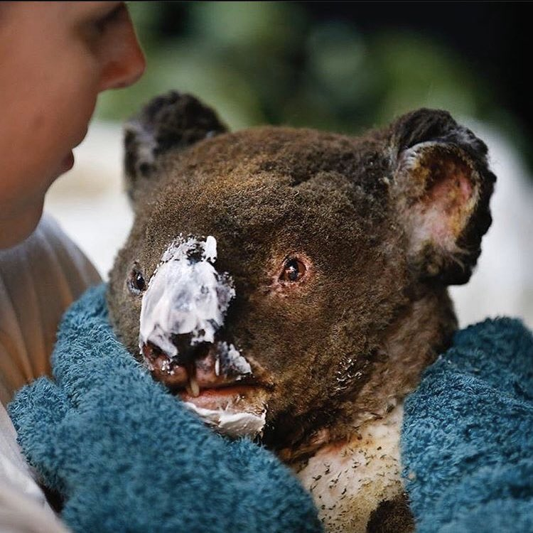 Victim of the Climate Change Lobby Hawks, a burnt Koala.