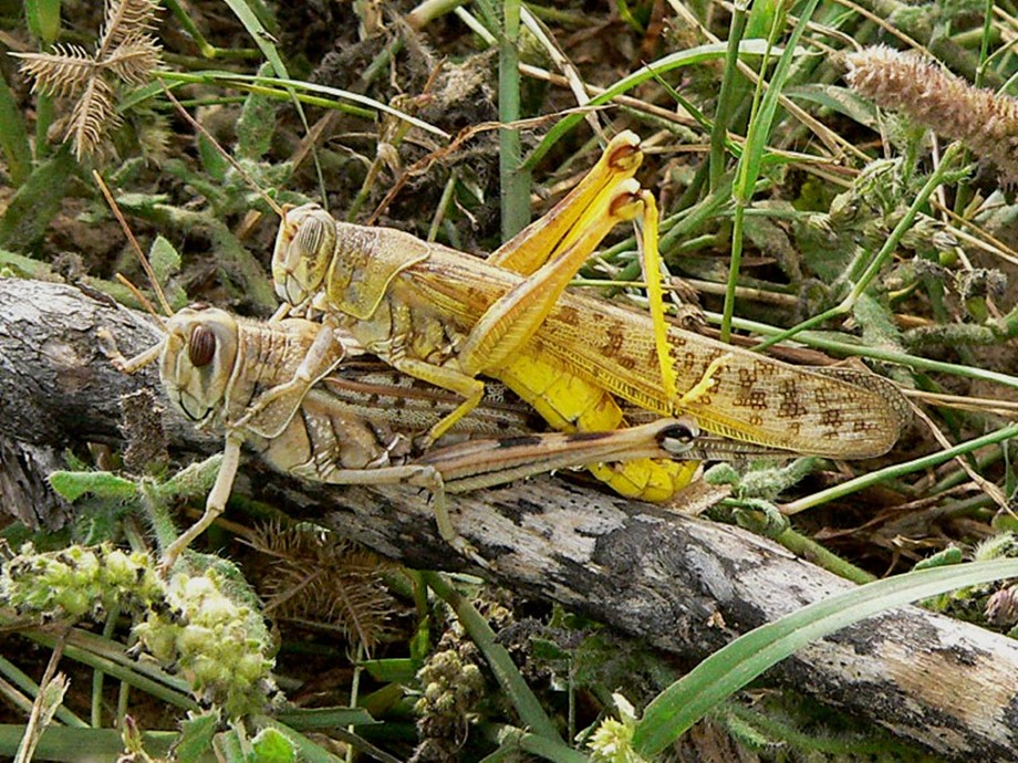 Frequently Asked Questions (FAQs) about locusts Invasion: Mating Locusts