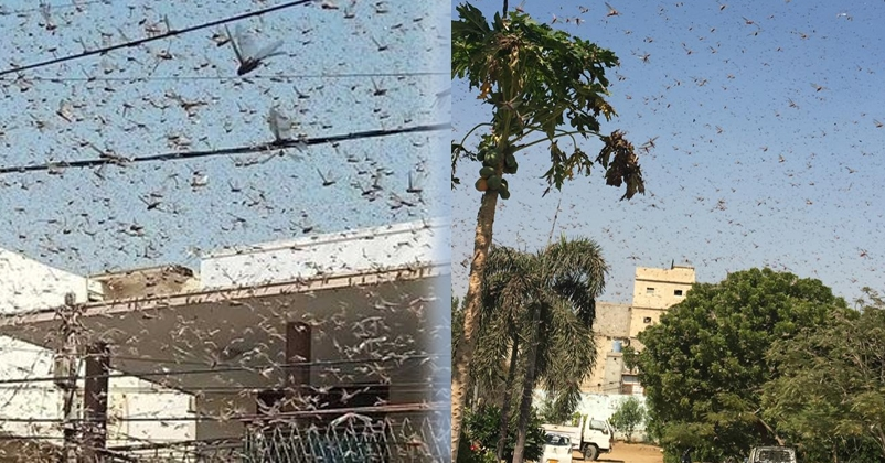 Locust Infestation In Balochistan And Sindh: Swarm of Locusts seen over houses in Karachi