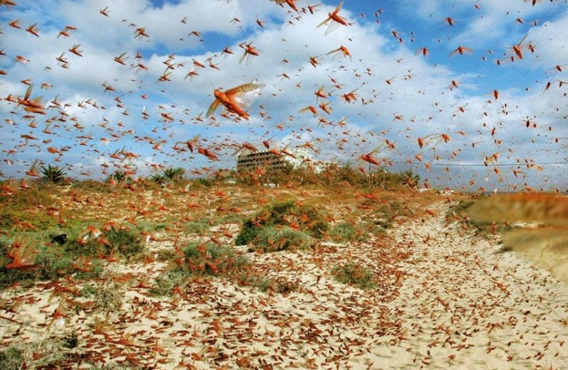 Strategy to Eradicate Locust Plague