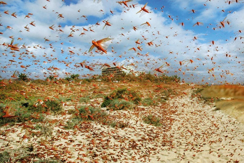Locust Infestation In Balochistan And Sindh: Swarm of Locusts