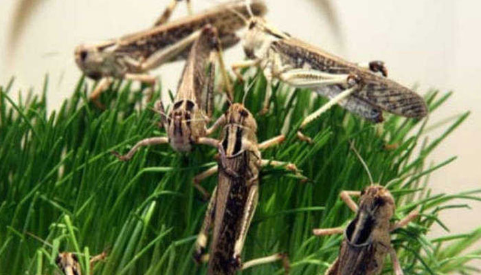 Frequently Asked Questions (FAQs) about locusts Invasion: Desert Locust