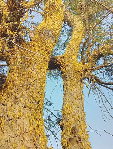 Locust Infestation In Balochistan And Sindh: Swarm of Locusts eating up the whole trees.
