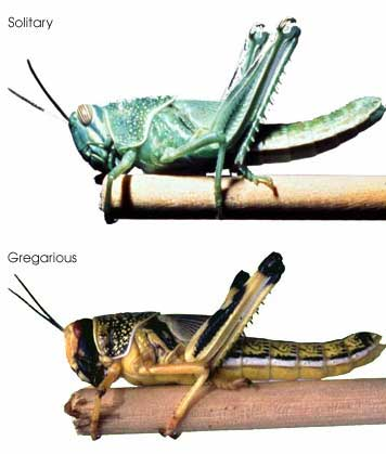Frequently Asked Questions (FAQs) about locusts Invasion: Desert Locusts