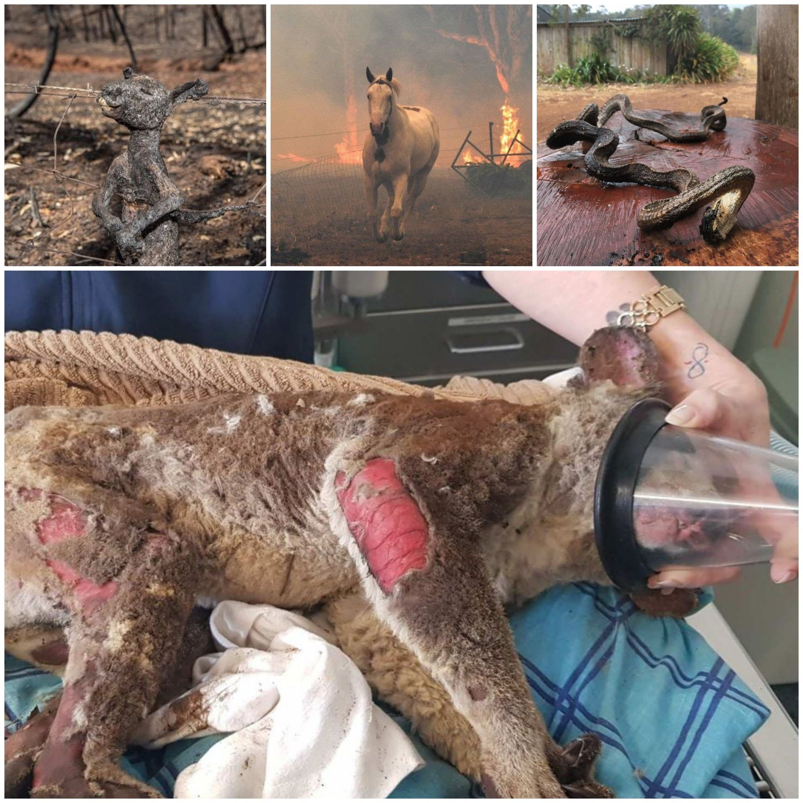 Forest Fire Jihad in Australia. Over 500 million animals killed.