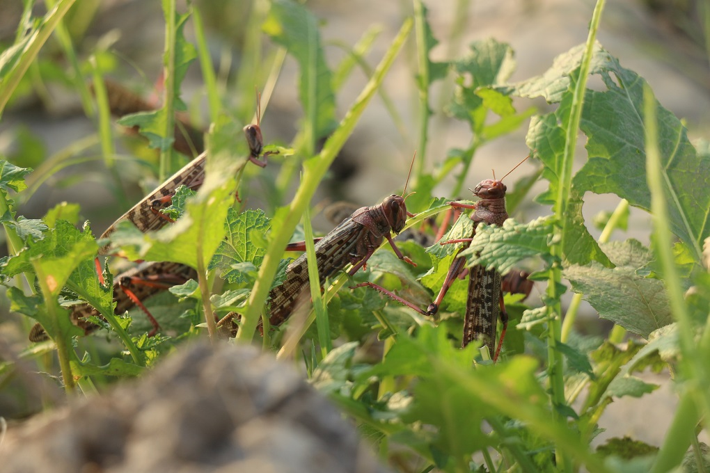 Locust Infestation In Balochistan And Sindh: Swarm of Locusts eating all vegetation