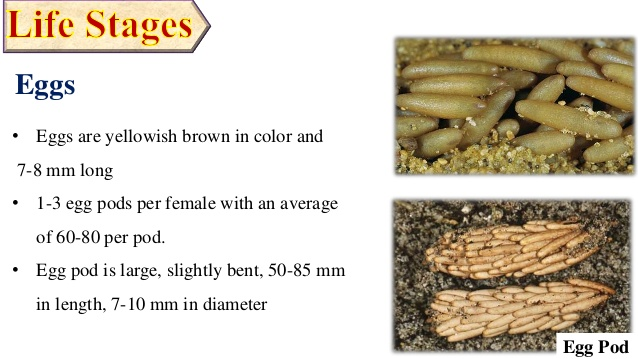 Frequently Asked Questions (FAQs) about locusts Invasion: Egg Pod of Locusts
