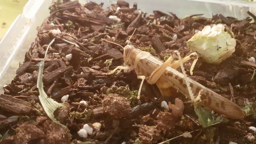 Frequently Asked Questions (FAQs) about locusts Invasion: Locust laying eggs